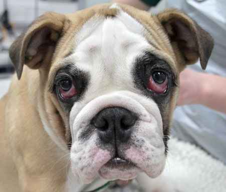 Cherry Eye In Dogs Cost To Fix