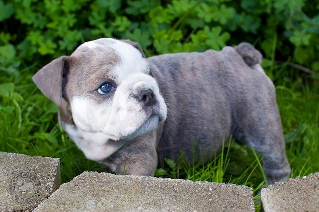 Blue Bulldogs - What are they? - Bullymake
