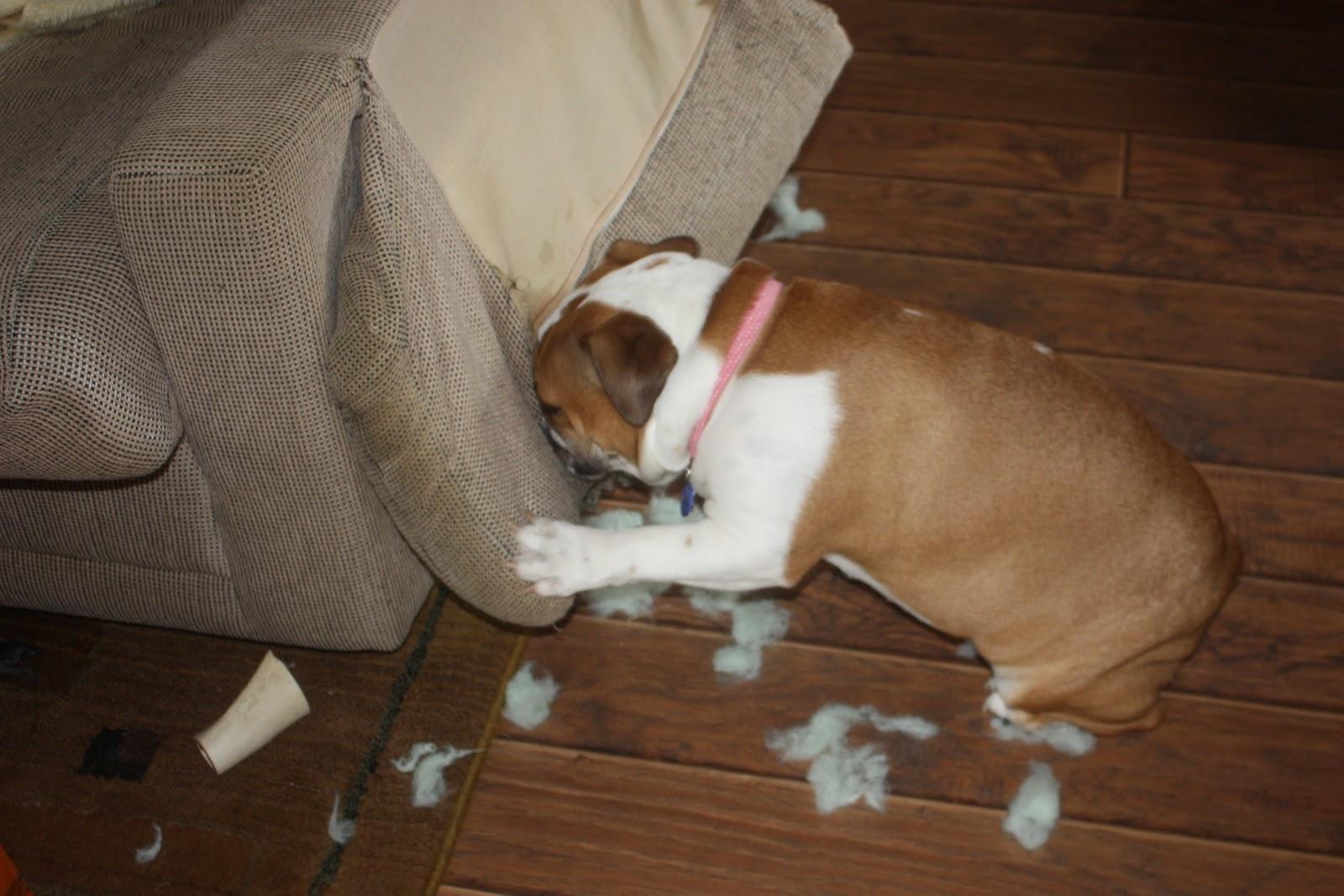 Resultado de imagen para bulldog chewing