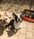 frank_the_frenchie_tank_11_4_2017_10_47_31_127