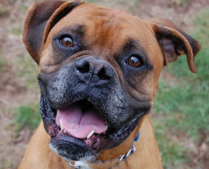Boxer Dog Information Uk