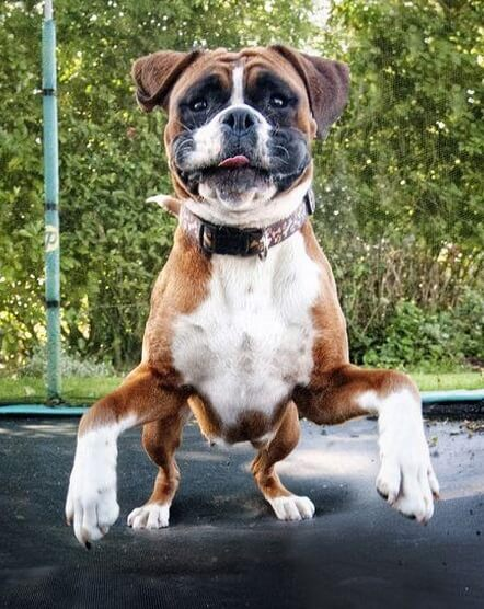 Image result for собака Boxer счастливый