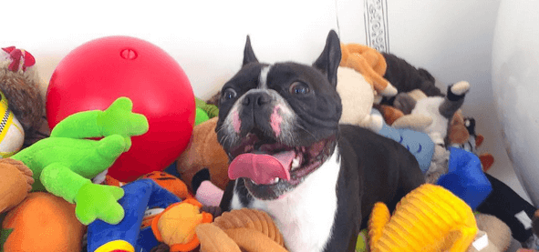 11 french bulldogs that just couldn 39 t. Black Bedroom Furniture Sets. Home Design Ideas