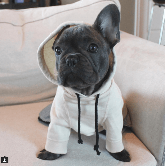 15 Reasons French Bulldogs SUCK!