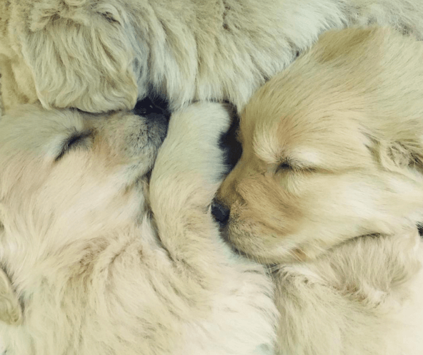 15 golden retriever puppies to melt your heart bullymake. Black Bedroom Furniture Sets. Home Design Ideas